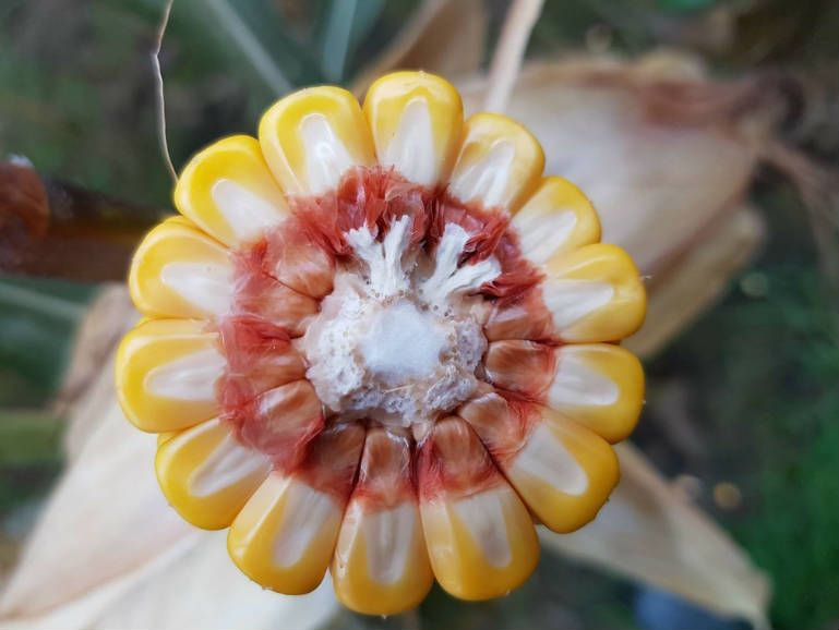 maize hybrid for grain and silage growing